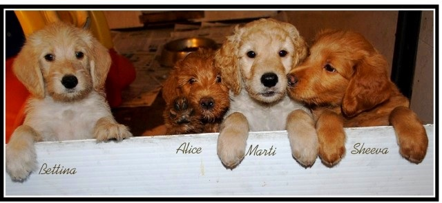 Double Doodle North American Retriever Puppies